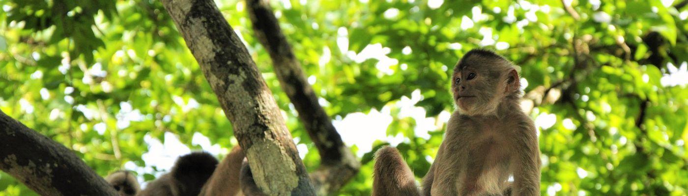 Affe im Amazonasdschungel, Ecuador