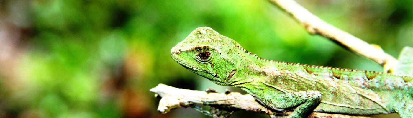 Brasilien Dschungel Eidechse Aromabild