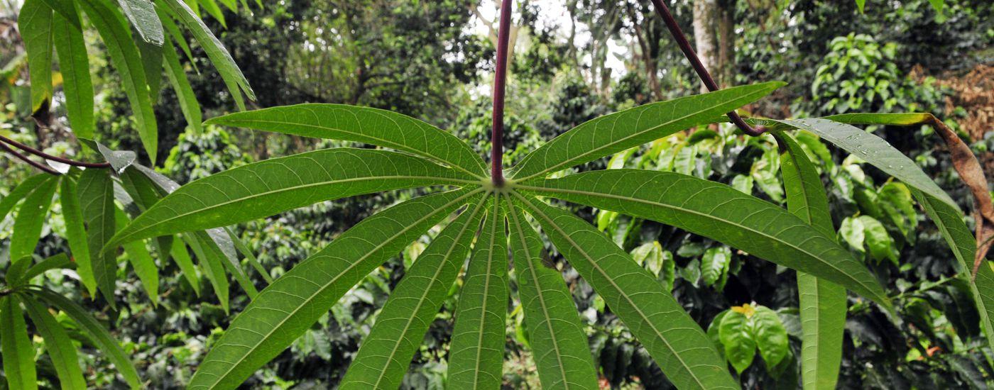 brasilien amazonas cassava blatt