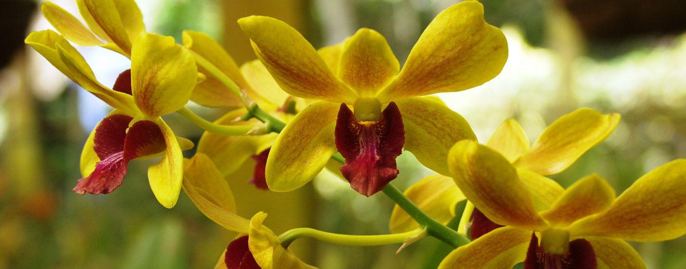 costarica orchideen gelb