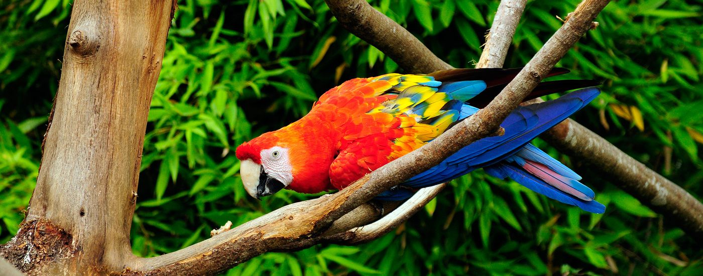 peru papagai