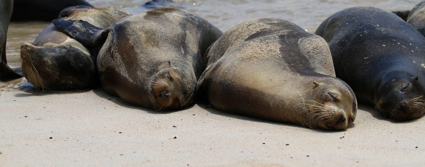 Schlafende Seelöwen auf den Galapagos-Inseln