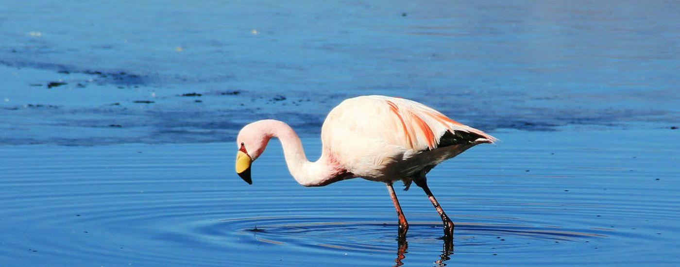 bolivien salar de uyuni flamingo 2