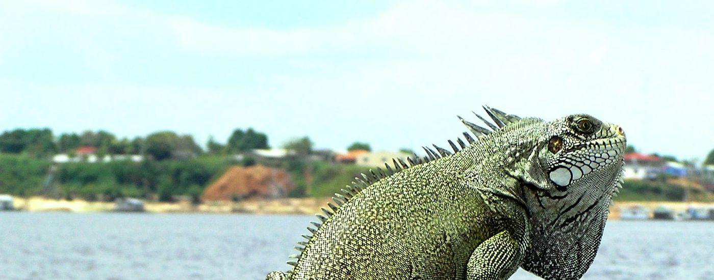 Brasilien Amazonas Leguan Aromabild