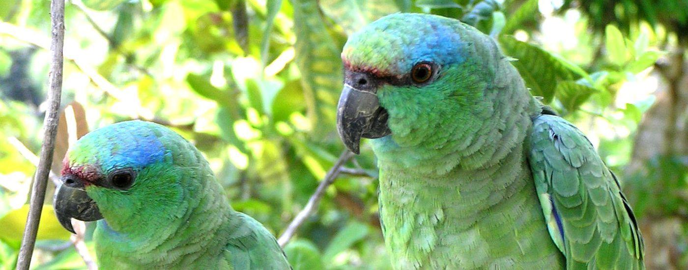 Brasilien Amazonas Papageien Aromabild