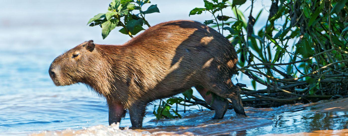 Brasilien pantanal capybara Aromabild