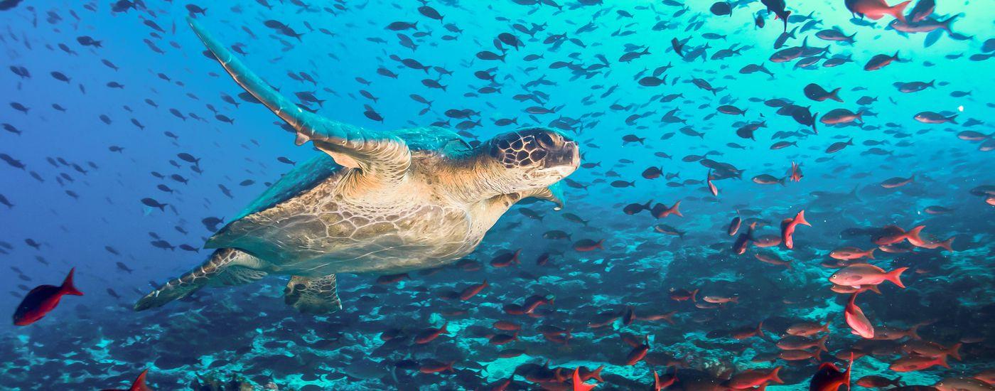 Ecuador Galapagos Tauchen Meeresschildkroete