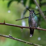 Ecuador Mindo Kolibri2