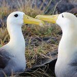 ecuador galapagos albatrosse