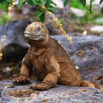 ecuador galapagos iguana gelb profilbild 2