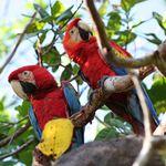 brasilien amazonas papageien 60nrSuj