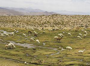 2008 11 27 js8q9116 alpaca herd