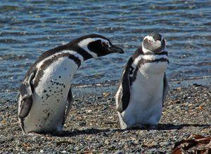 Pinguine auf der Isla Martillo