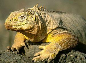 galapgos iguana i4DZFbR
