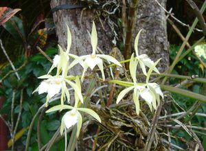 orchideejpg