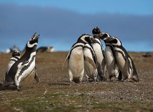 pinguins 1 4