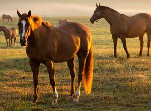 argentinien pferde