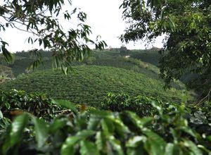 Kolumbien - Kaffeeregion