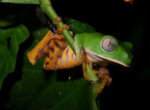 ecuador amazonas sacha lodge frosch2