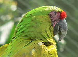 kolumbien amazonas papagei