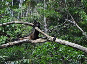 ecuador amazonas affe