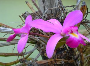 orchids of amazonat 5