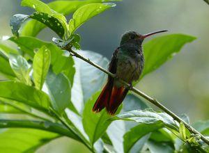 ecuador kolibri