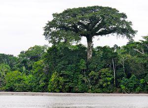 ecuador sucumbios kapokbaum