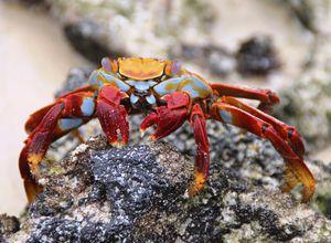 ecuador galapagos crab