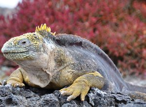 ecuador galapagos iguana gelb