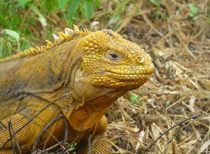 ecuador galapagos land iguana