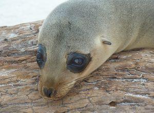 ecuador galapagos sea lion cute