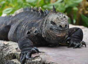 ecuador galapagos marine iguana nah