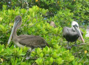 galapagos isabela pelikane