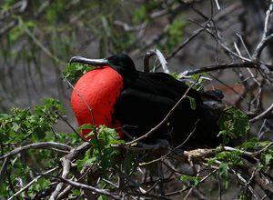 galapagos santa cruz fregattvogel im nest