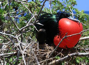 galapagos santa cruz fregattvogel