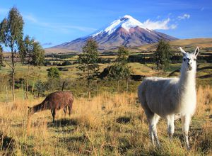 Cotopaxi Nationalpark Lamas mit Vulkan
