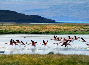 Flamingos im Lago Argentino in El Calafate