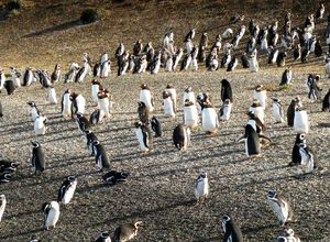 argentinien puerto madryn punta tombo pinguine