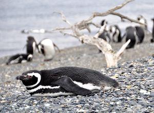 argentinien punta tombo pinguin