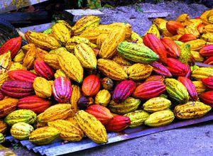 ecuador Kakaoplantage