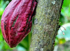 ecuador cocoaplantation