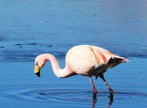 Bolivien Salar de Uyuni Flamingo