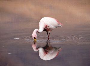 Chile Lauca Nationalpark Flamingo