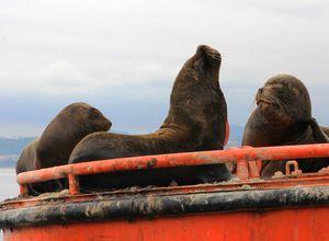 Chile Valparaíso Seelöwe