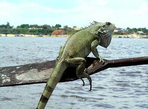 Brasilien Amazonas Leguan