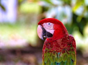 Brasilien Amazonas Papagei