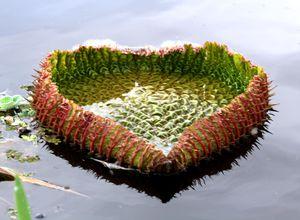 Brasilien Amazonas Seerose
