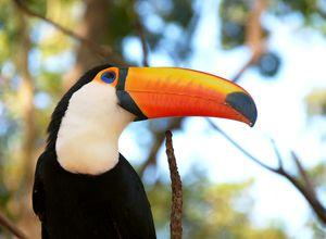 Brasilien Amazonas Tucan