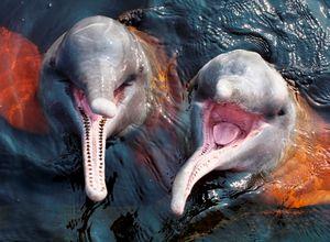 Brasilien Amazonas rosa delfin